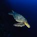 Isla del Coco - Flying turtle