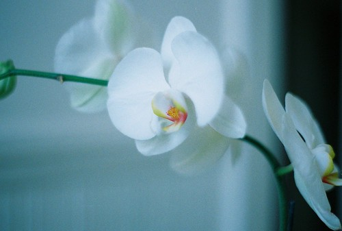 orchid | by ornithes