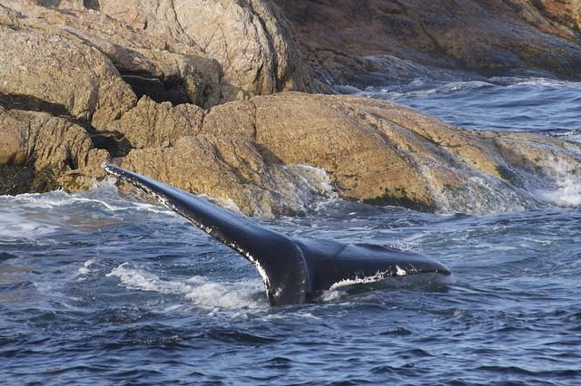 C Whale Battle Cat