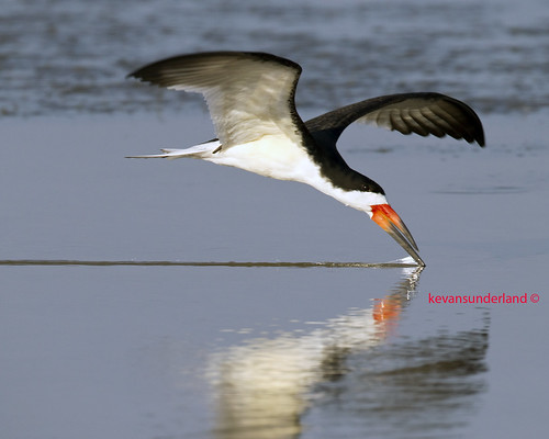 Black Skimmer Skimming At North Beach Fort DeSoto Park | by kevansunderland