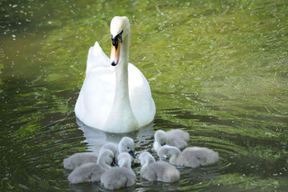 Swans and Cygnets | by Ian Campsall