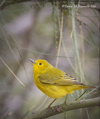 Yellow Warbler  IMG_4003edtvg | by cmescamilla