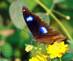 Great Eggfly (Jaamooi) Butterfly - Male