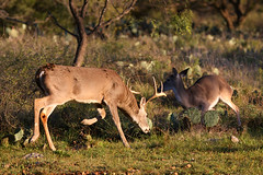 Hill Country Whitetail Deer - Bucks | by huntingdesigns
