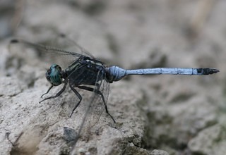 Julia Skimmer (Orthetrum julia) Male | by Rezamink
