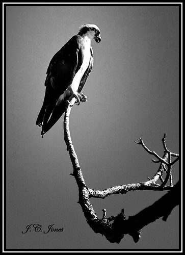 OSPREY PERCH | by JC Jones
