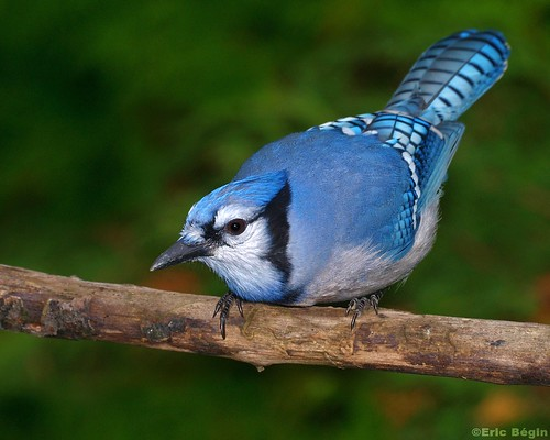 Blue jay / Geai bleu | by Eric Bégin