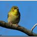 Gold Finch male (Nov)