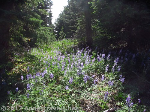 The lupines in one of the meadows - they're pretty dusty... Gnarl Ridge Trail in Mt. Hood National Forest, Oregon