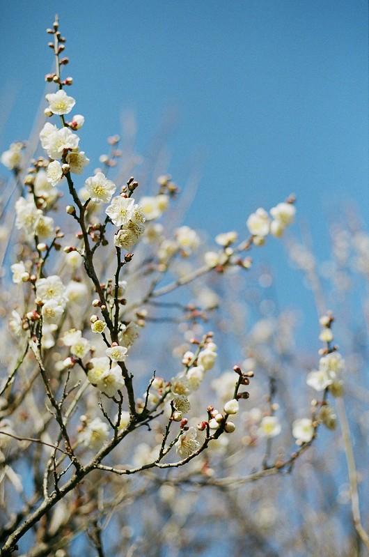 Ume blossom|梅の花