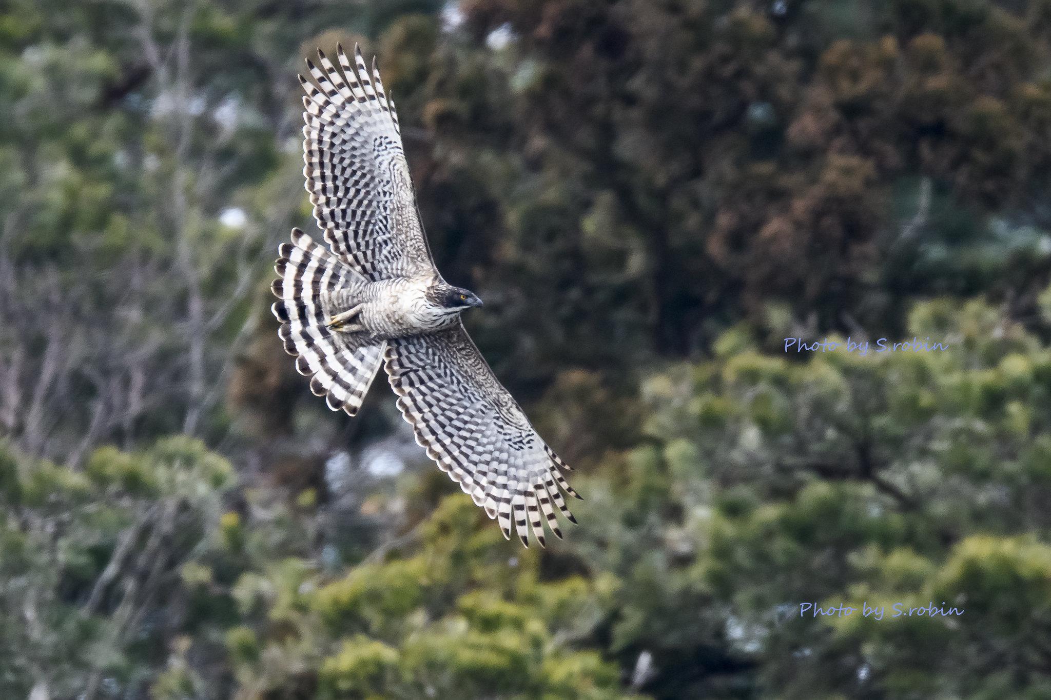 Mountain Hawk-eagle