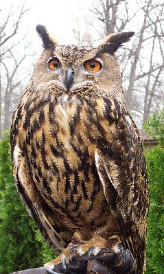Eagle Owl | by Potter Park Zoo