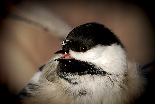 Went looking for the Pygmy Owl, but all I found was this lousy Chickadee - Project 365 Day 353 | by Ron Kube Photography