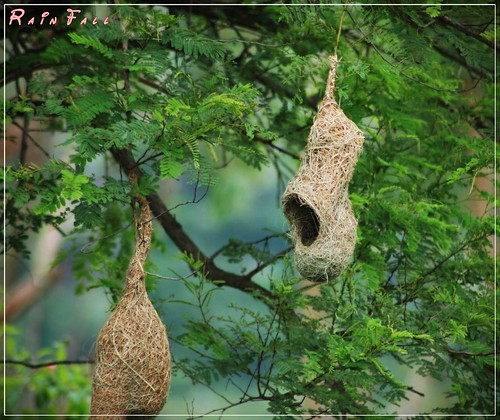 Weaver Bird nests hanging from tree | ..Rainfall.. ..A ...