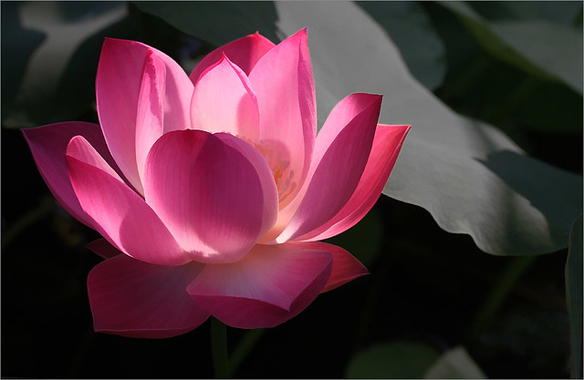 lotus flower  imgbuzzdesat  lotus flower  for…  flickr, Beautiful flower