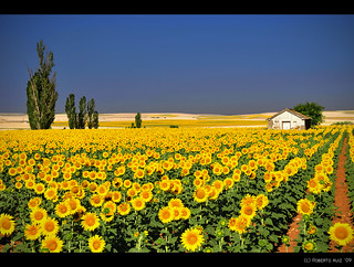 Dutch Van Gogh Sunflowers? No, Spanish fields... | by B'Rob