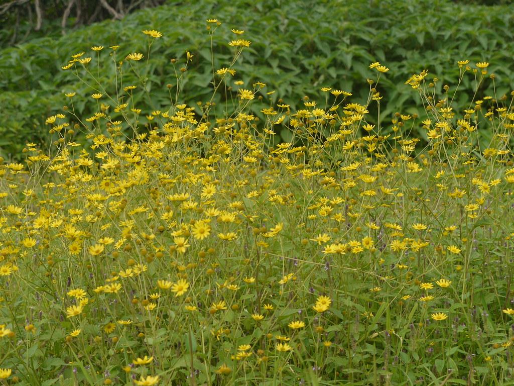 Sonki marathi asteraceae aster daisy or sunflo sonki marathi by dinesh valke izmirmasajfo