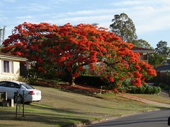 Royal poinciana - Flametree - Flamboyant | by Tatters ❀