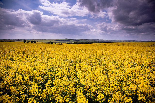 Yellow flowers fields in english country think my flickr s flickr yellow flowers fields in english country by flamed mightylinksfo
