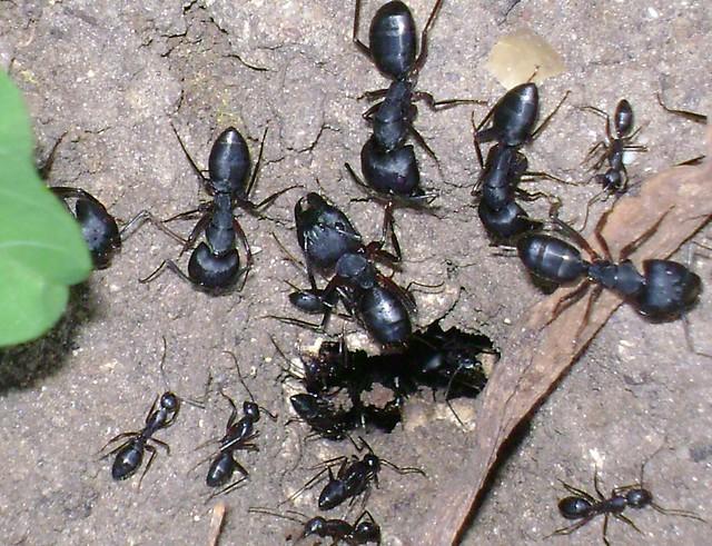 big black ant - photo #47