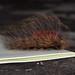 hirsute caterpiller of a Javan moth