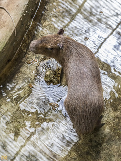 Capybara Gamboa Wildlife Rescue pandemonio 2017 - 02 | by Eva Blue