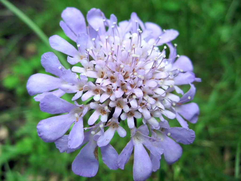 Pincushion Flower Beautifulcataya Flickr