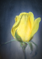 Yellow Rose | by aussiegall