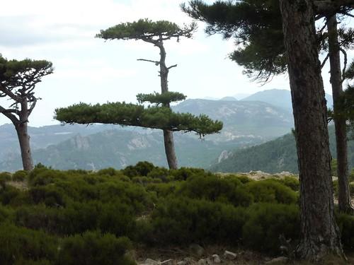 Sur la piste des bergeries de Luviu : pin laricio remarquable à l'arrivée aux bergeries