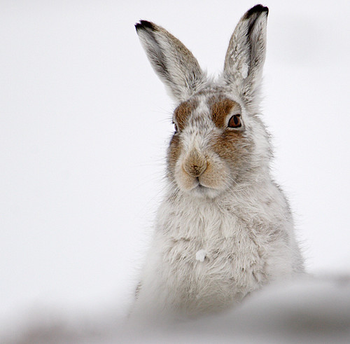 Mountain Hare | by Chris Sharratt