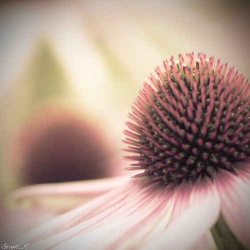A coneflower in Scotland today | by Grant_R