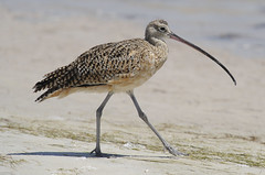 long-billed curlew | by Steve Courson