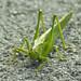 Grasshopper Flip was crossing my way..