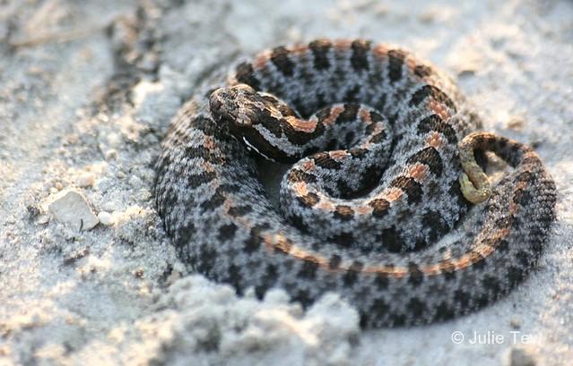 Dusky Pygmy Rattlesnake Sistrurus Miliarius Barbouri A