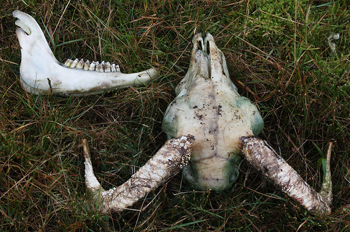 Sheep's skull and jaw bone on the Creigh Hill, Angus, Scotland. | by Shandchem