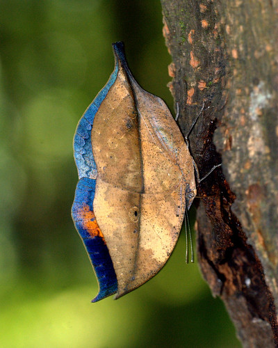 ORANGE OAKLEAF  Kallima inachus, MANAS NATIONAL PARK,  ASSAM, INDIA | by Isaac Kehimkar