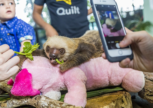 Hoffmann's two-toed sloth Gamboa Wildlife Rescue pandemonio 2017 - 06 | by Eva Blue