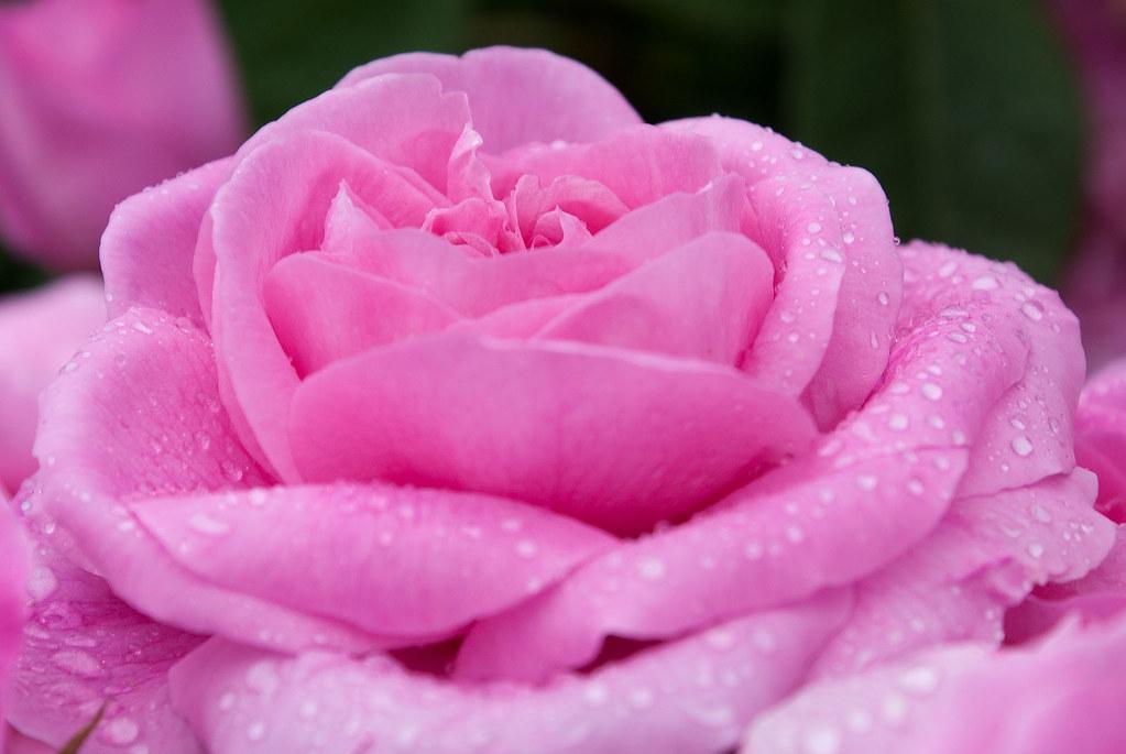 Gertrude Jekyll Gardens >> Variety 'Gertrude Jekyll' 1 | At Hampton Court gardens, Here… | Flickr