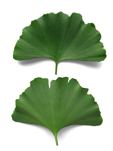 Ginkgo biloba - Maidenhair Tree leaves | by Virens (Latin for greening)