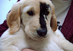 Peter Fox - the golden retriever born with a birthmark | by SCVHA