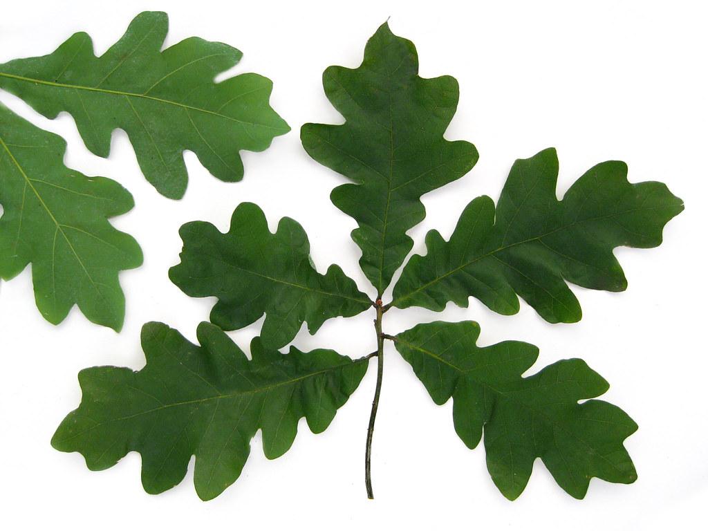 Quercus alba white oak leaves for a description of