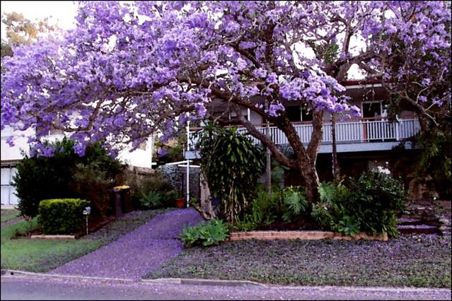 Jacaranda in Brisbane suburban , Australia   Are you ready ...