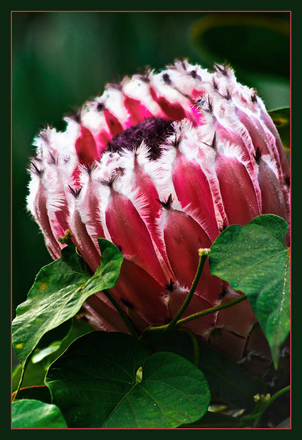 Pink mink protea proteas were introduced to the cooler ele flickr pink mink protea by ttmac mightylinksfo