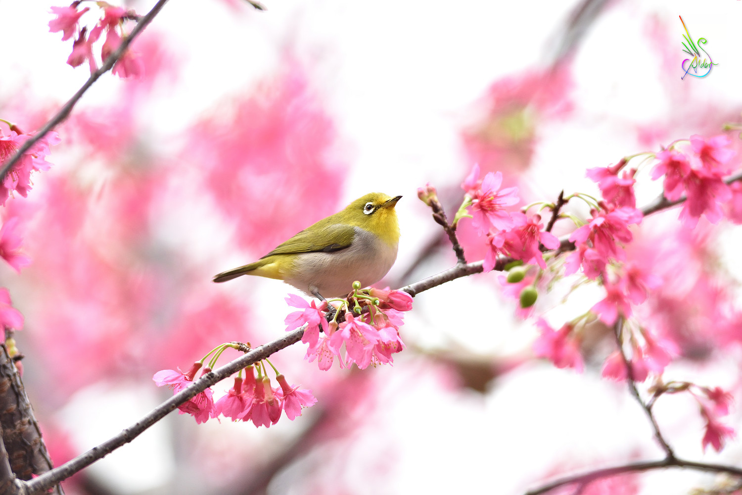 Sakura_White-eye_5357