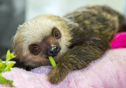Hoffmann's two-toed sloth Gamboa Wildlife Rescue pandemonio 2017 - 12 | by Eva Blue
