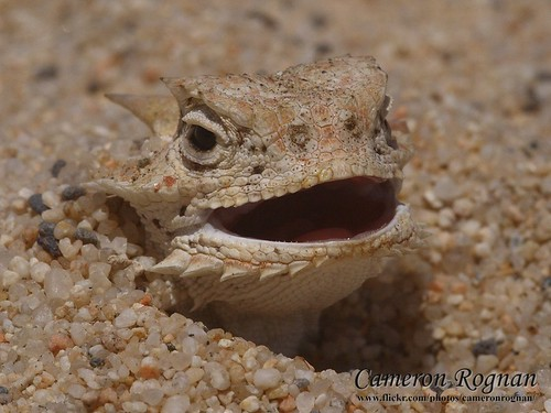 Desert Horned Lizard | Cameron Rognan | Flickr