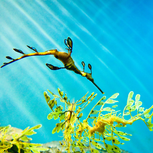 The Secret Lives of Sea Dragons | by mischiru