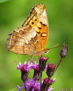 Variegated Fritillary on ironweed | by Vicki's Nature