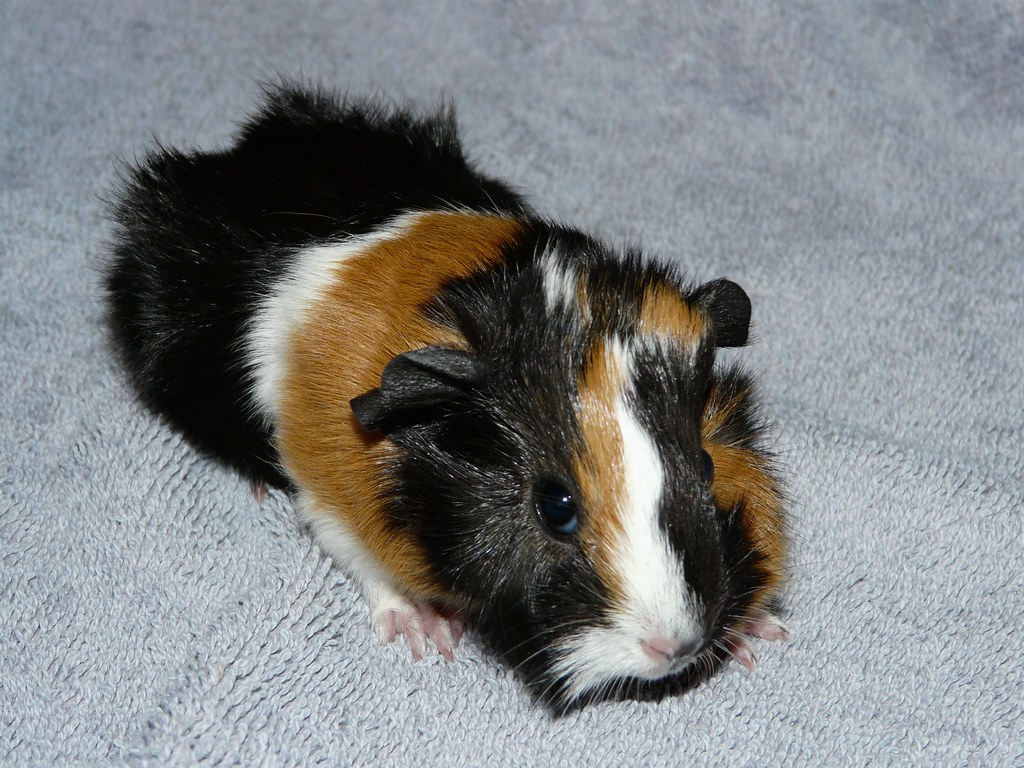 New Born Baby - Abyssinian Guinea Pig   This one was born ... - photo#1