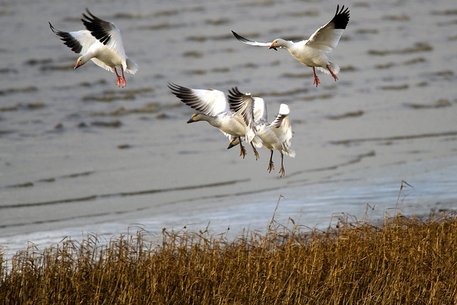 financial analysis snow geese inn Premier mallard and canada goose hunting along the north platte river in western nebraska and eastern wyoming exceptional spring snow goose hunting in southeast nebraska.